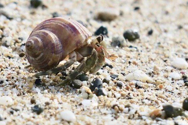 hermit-crab-4002529_640